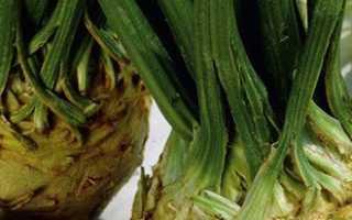 Лучший сорт корневого сельдерея