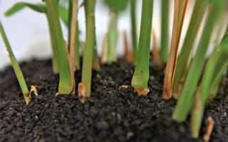 Можно ли выращивать имбирь в средней полосе россии?