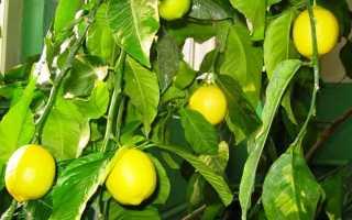 Лимон в домашних условиях выращивать