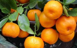 Можно ли выращивать мандарины в беларуси в открытом грунте?