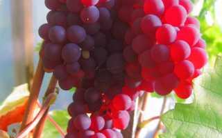 Лучший сорт красного винограда