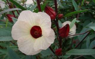 Суданская роза как выращивать в домашних условиях