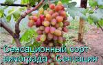 Лучшие сорта винограда капелюшного