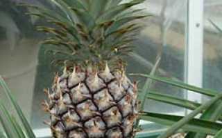 Как выращивать ананас в домашних?