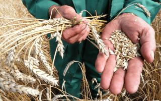 Главная зерновая культура которую выращивают в азии