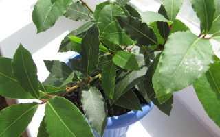 Как правильно выращивать лавровый лист в домашних условиях?
