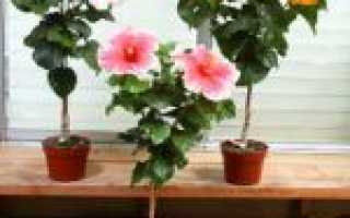 Можно ли выращивать гибискус сирийский в квартире?