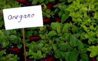 Как выращивать душицу из семян в домашних условиях?