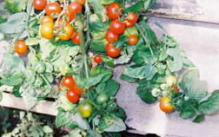 Лучшие сорта томатов для лоджии