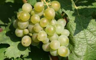 Лучшие сорта морозостойкого винограда
