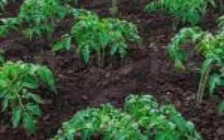 Как выращивать помидоры в открытом грунте на юге?