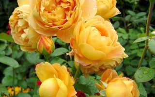 Лучшие сорта желтых роз
