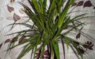 Как в домашних условиях выращивать драцену в домашних условиях?