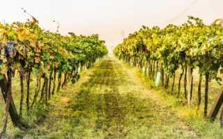 Как выращивать виноград в средней полосе россии из черенков?